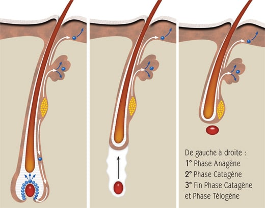 Follicule-pileux-anagene-catagene-telogene